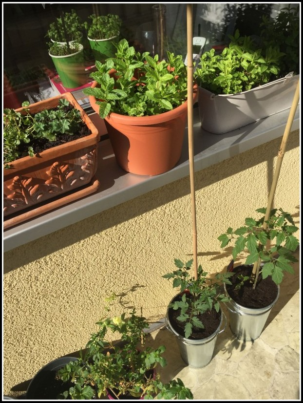 Tomaten Auf Balkon Anbauen
