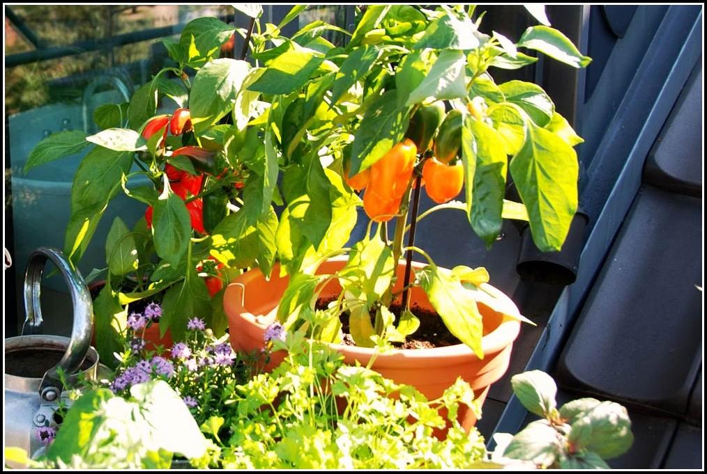 Tomaten Auf Balkon Halten