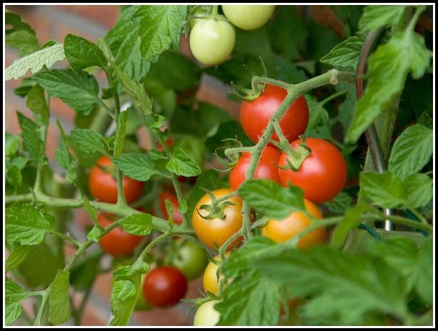 Tomaten Auf Balkon Pflanzen