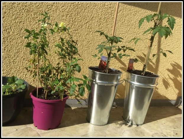 Tomaten Auf Dem Balkon Anbauen