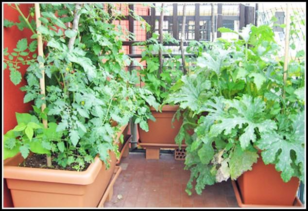 Tomaten Pflanzen Balkon Wann
