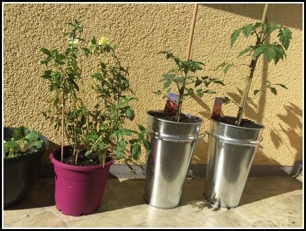 Tomaten Selber Anbauen Balkon