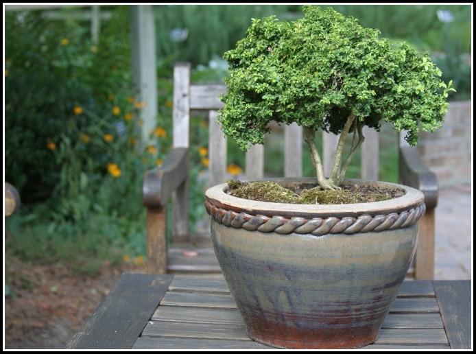 Winterharte Immergrüne Pflanzen Balkon