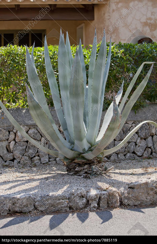 Agave Pflanze Kaufen