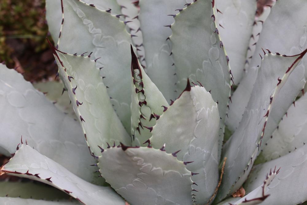 Agave Pflanze Pflege