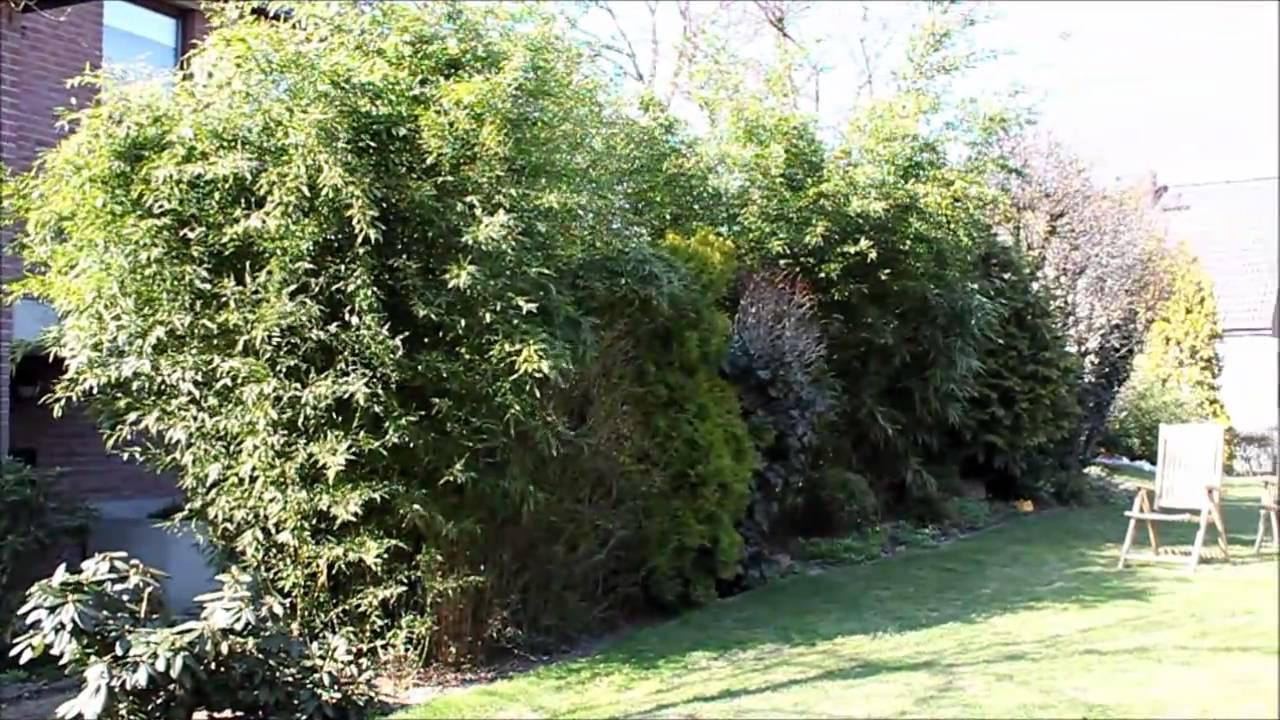 Bambus Als Sichtschutz Garten