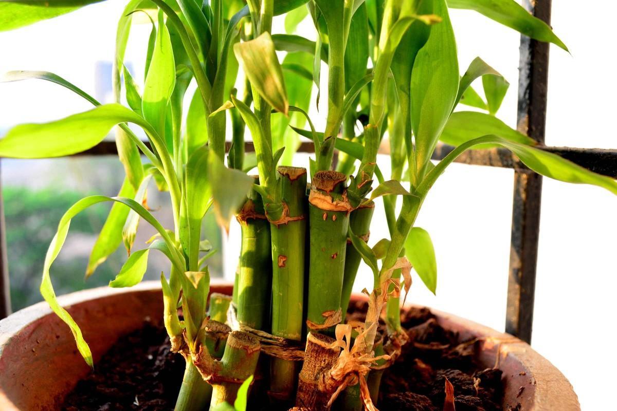 Bambus Pflanzen Kaufen
