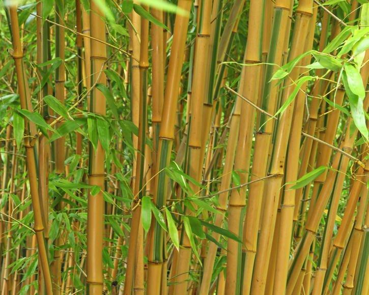 Bambus Sichtschutz Garten Pflanzen