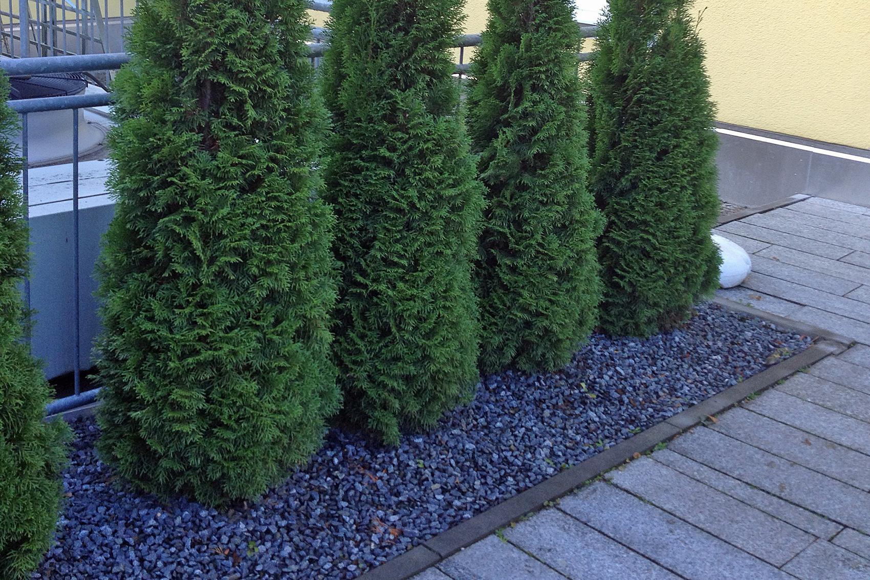 Baum Vorgarten Modern
