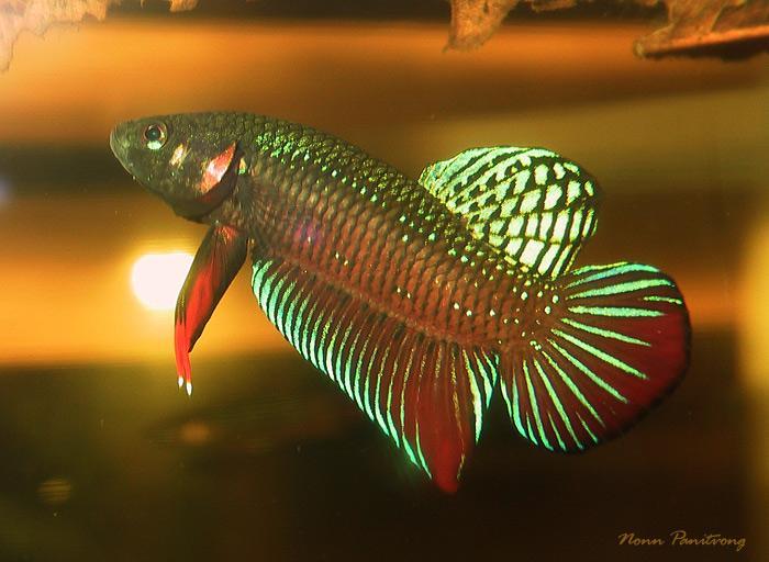 Beige Betta Fish