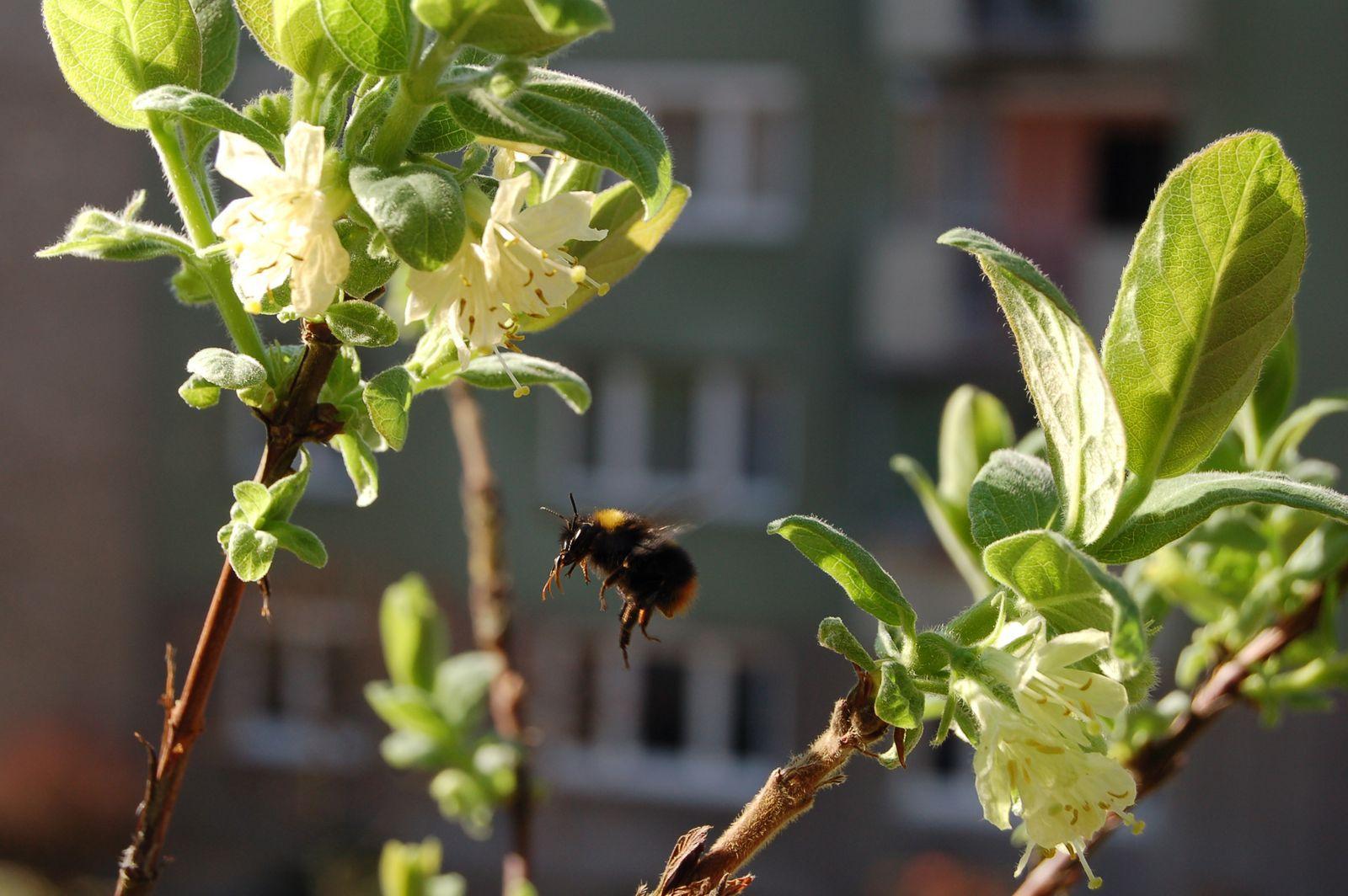 Bienenfreundliche Sträucher Schatten