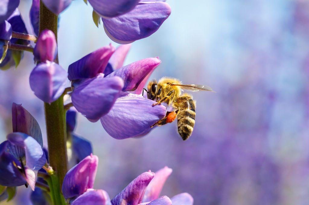 Blaue Stauden Bienenfreundliche