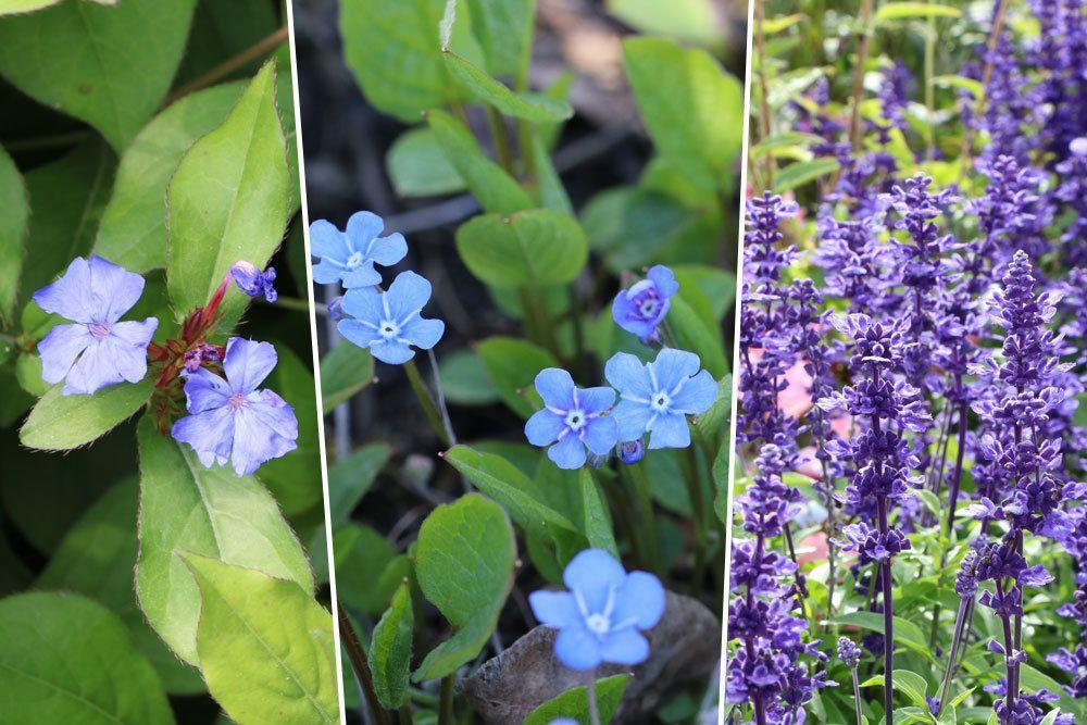 Blaue Stauden Blumen