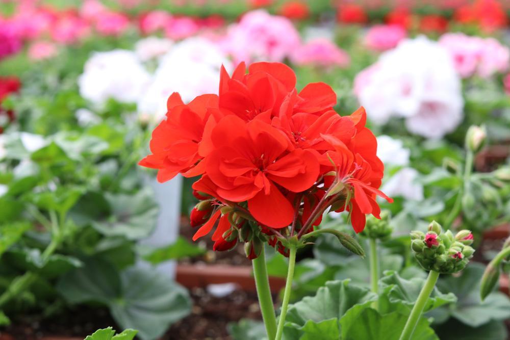 Blühende Hängepflanzen Garten