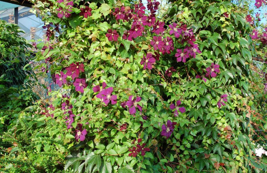 Blühende Immergrüne Pflanzen Winterhart