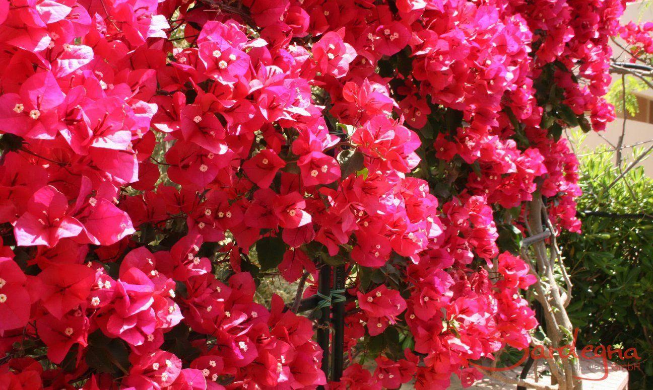 Blühende Pflanzen Auf Sardinien