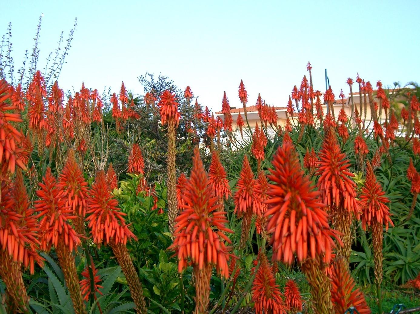 Blühende Pflanzen Madeira