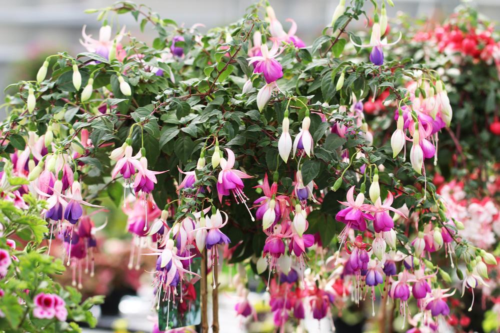 Blühende Pflanzen Winterhart