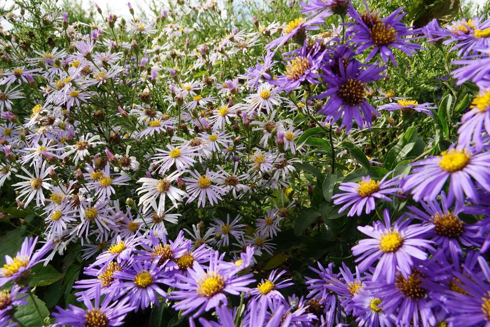 Blühende Stauden Blaue Blumen Winterhart