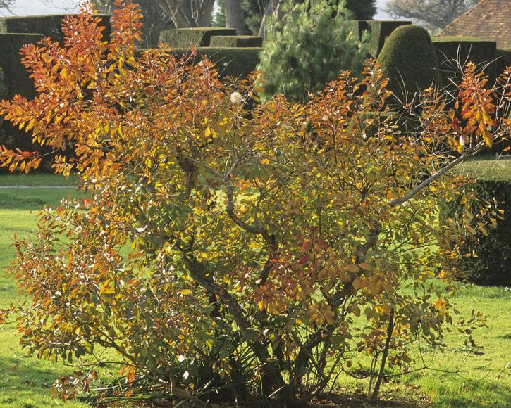 Blühende Sträucher Herbst