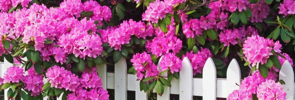 Blumen Stauden Pink
