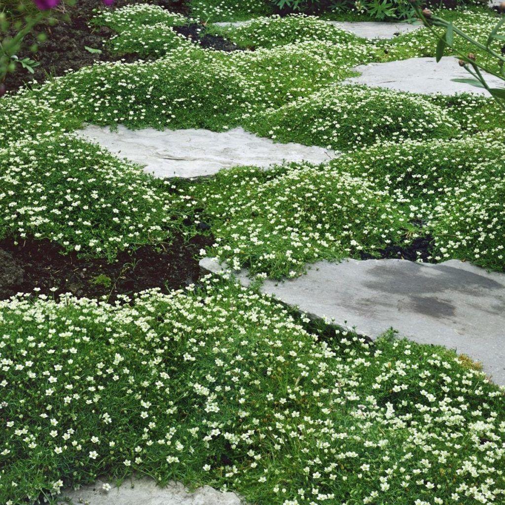 Bodendecker Immergrün Pflanze