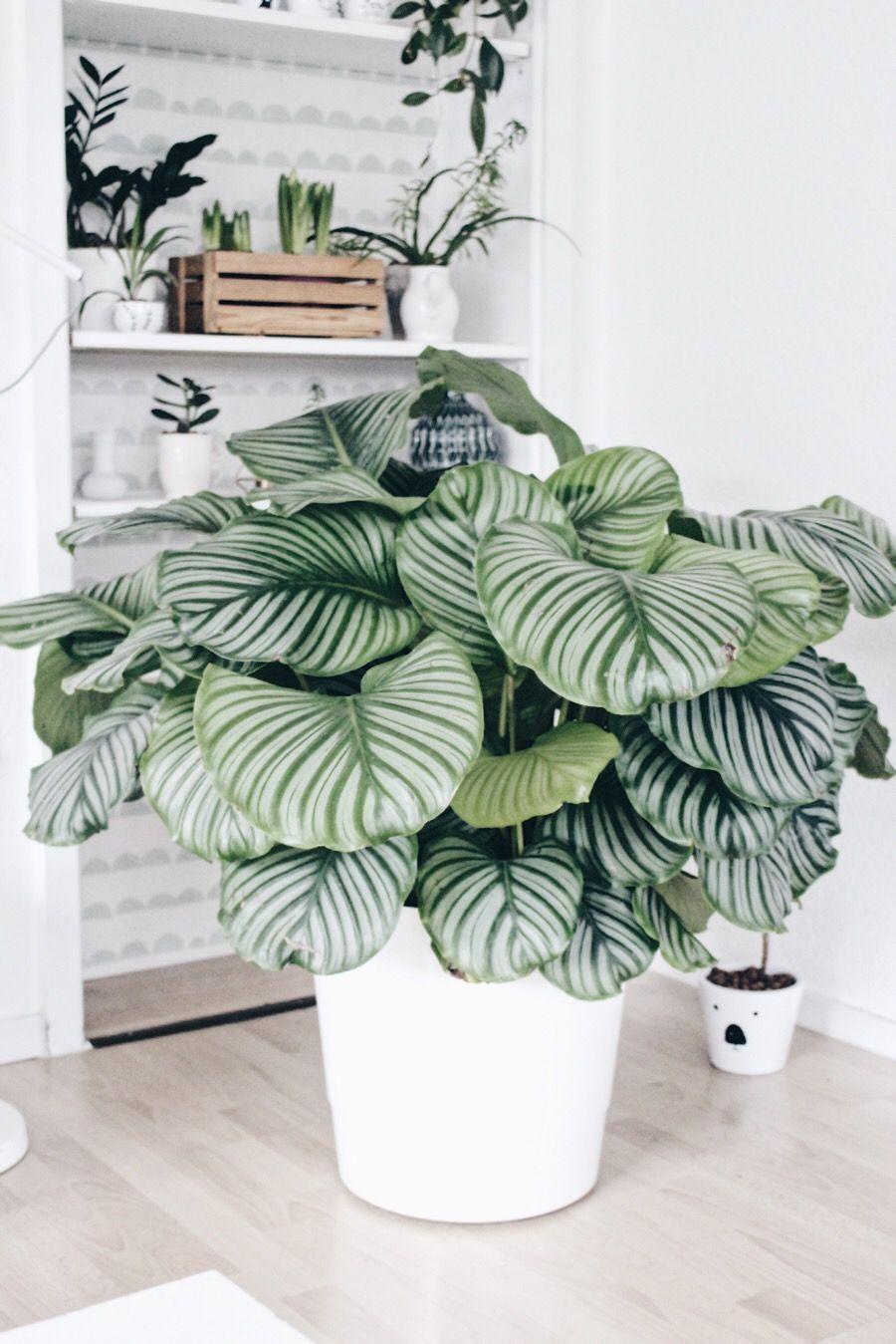 Calathea Pflanze Pflege