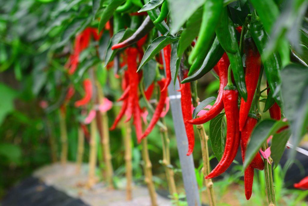 Chili Pflanzen Kaufen