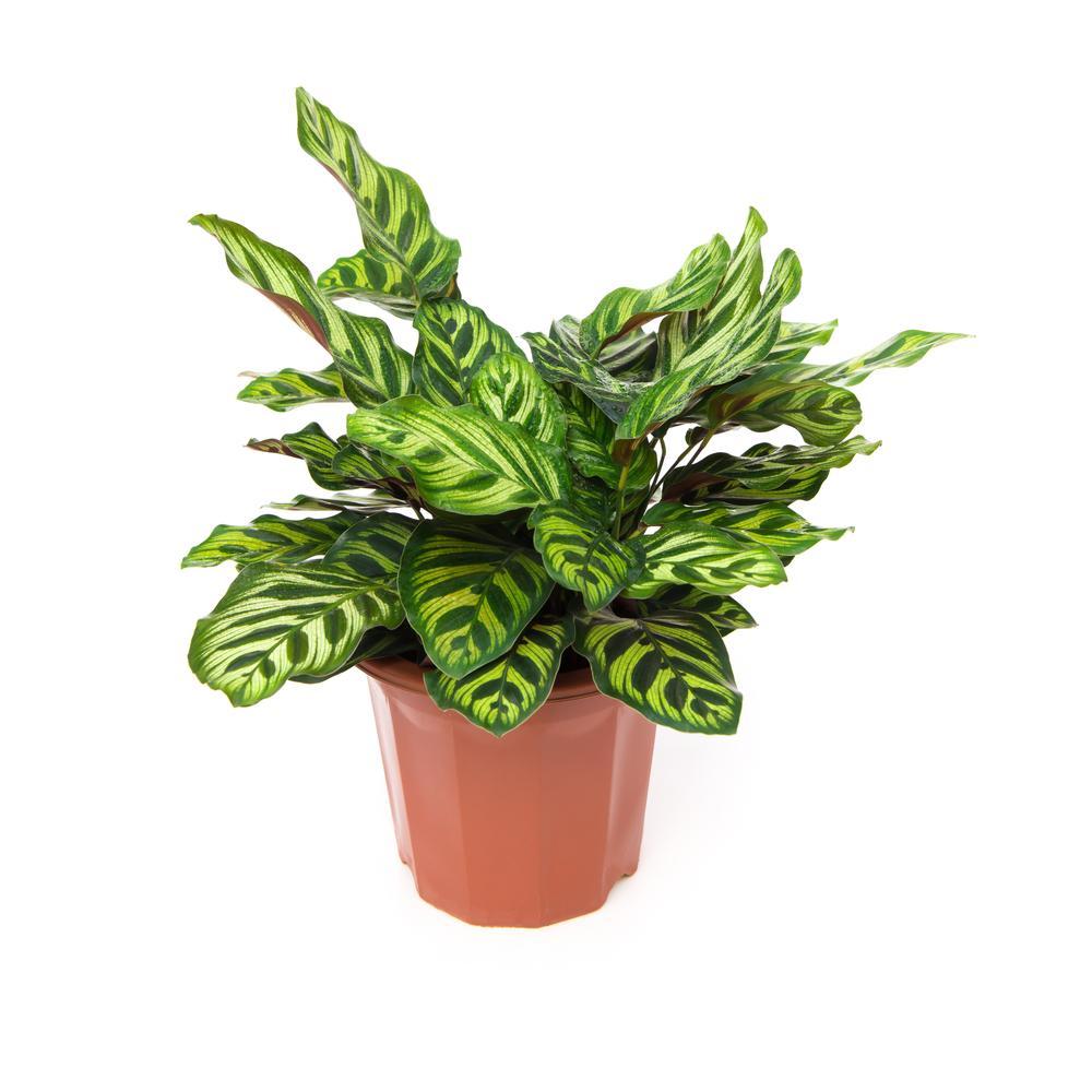 Decorum Pflanze Calathea