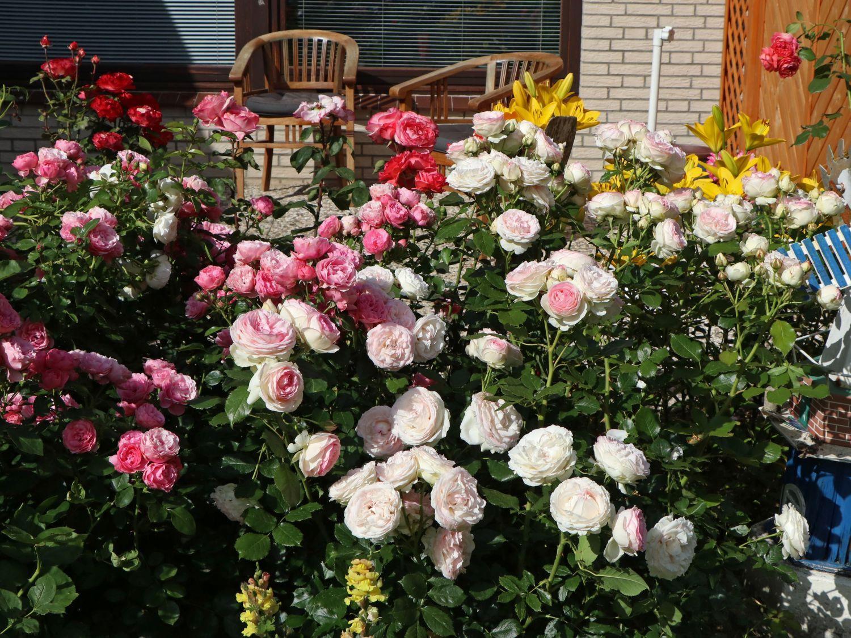 Eden Rose 85 роза