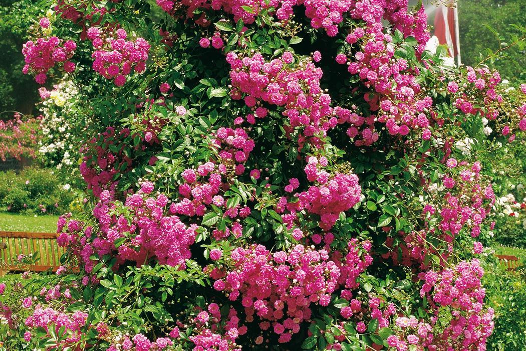 Einheimische Blühende Kletterpflanzen Winterhart Mehrjährig Schnellwachsend