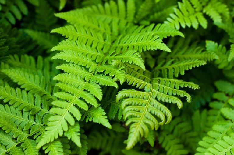 Farn Pflanze Arten