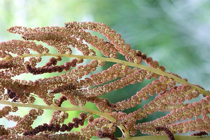 Farn Pflanze Giftig