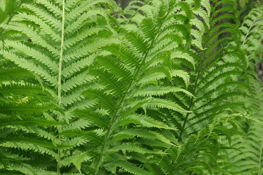 Farn Pflanze Pflege