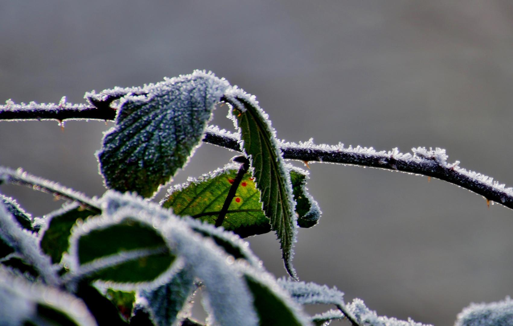 Frost Blumen Im Winter