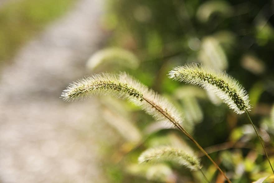 Fuchsschwanz Pflanze Wiese