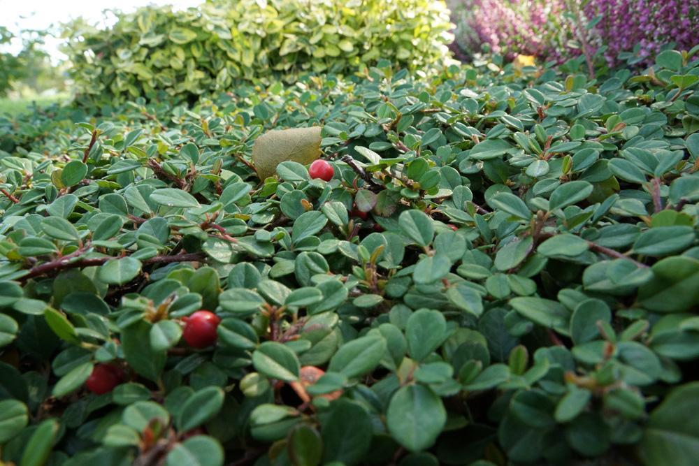 Garten Pflanzen Immergrün
