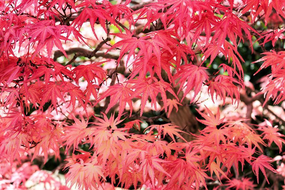 Gartenbäume Mit Roten Blättern
