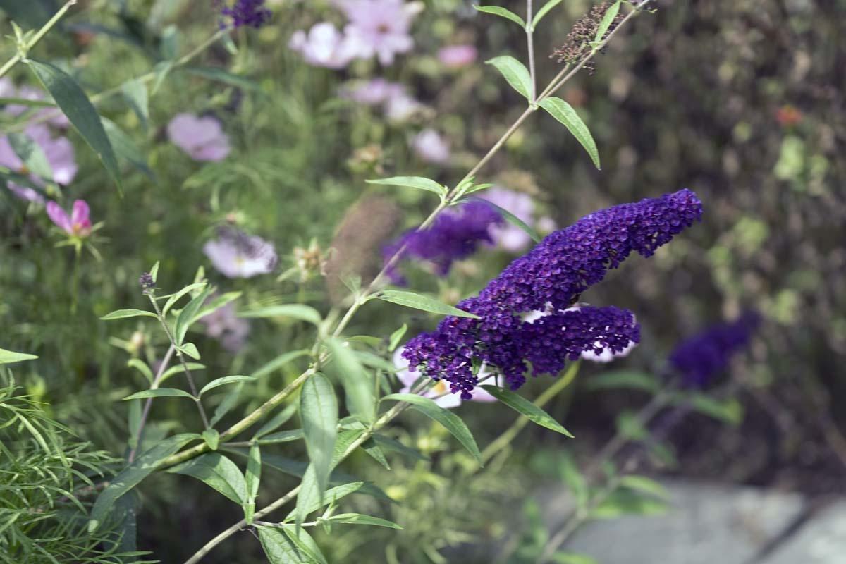Gartensträucher Blau Blühend