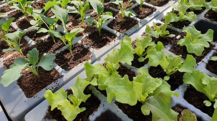 Gemüse Pflanzen Garten