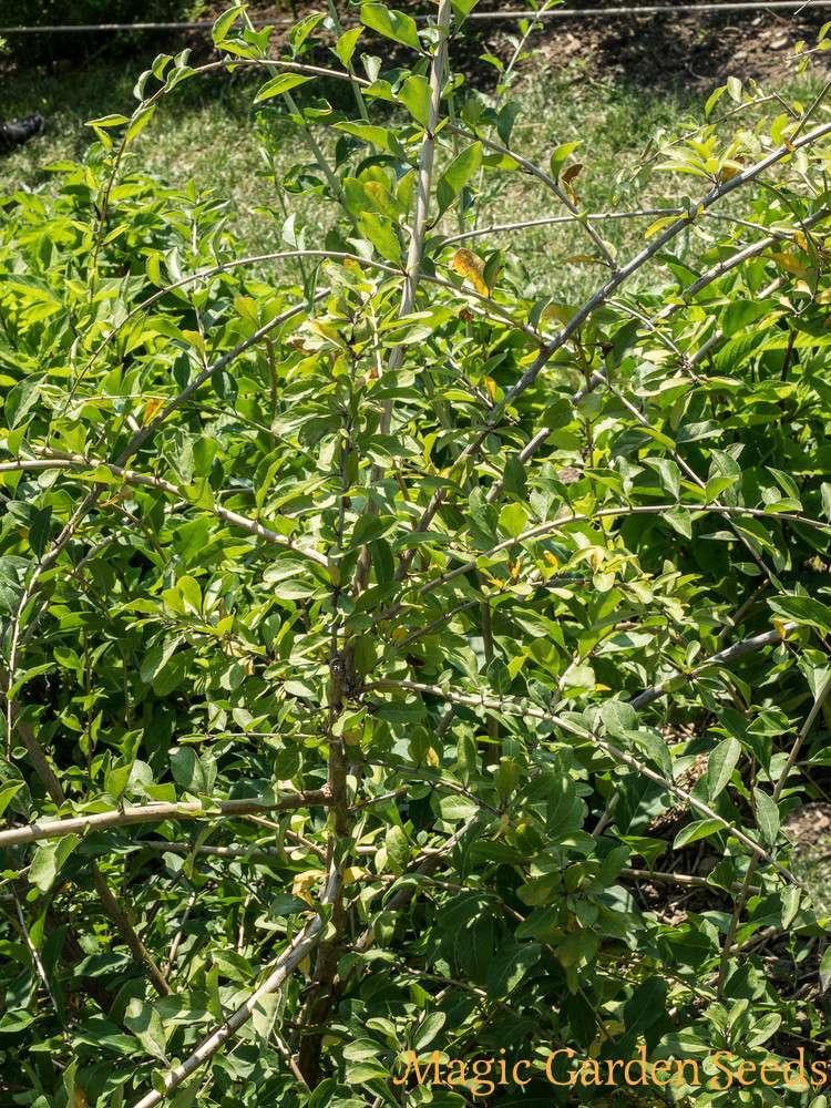 Goji Beeren Pflanzen Kaufen