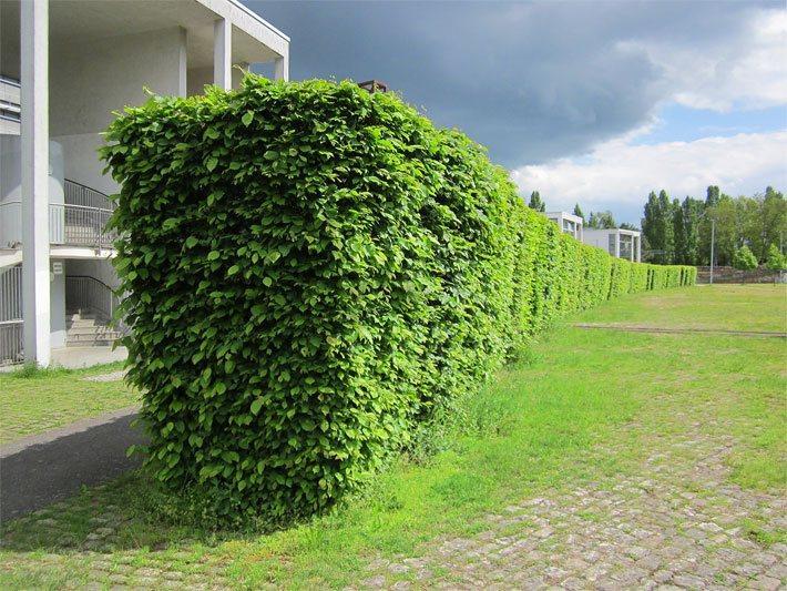 Grüner Zaun Pflanzen
