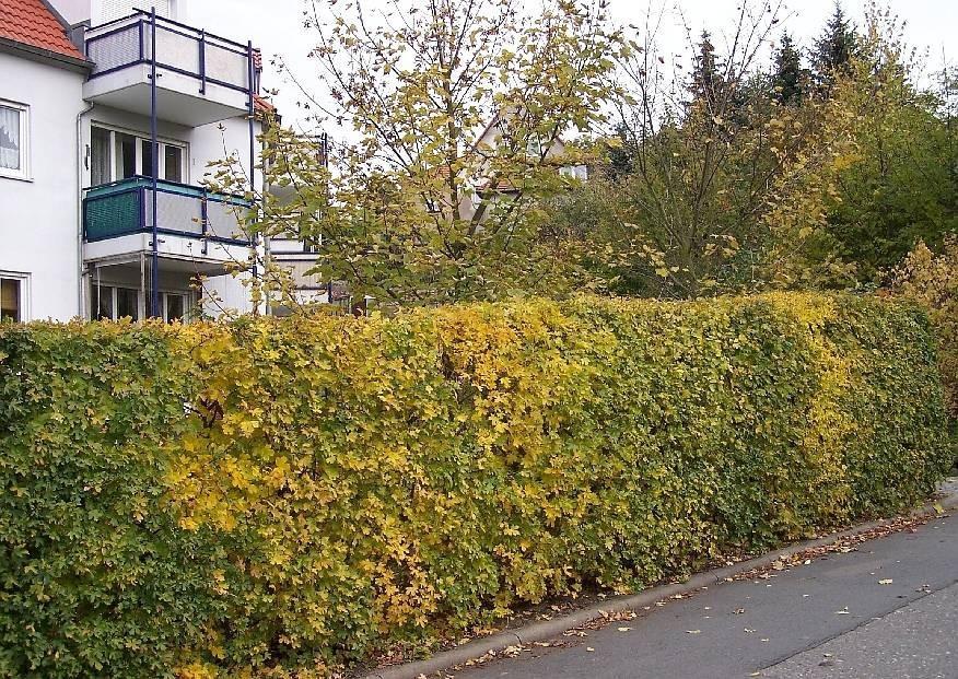 Hecken Immergrüne Sträucher Winterhart Ungiftig