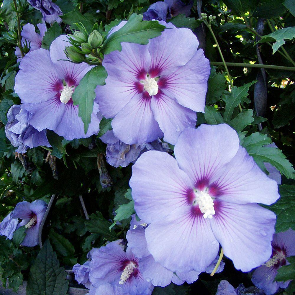 Hochstämmchen Blaue Blüten