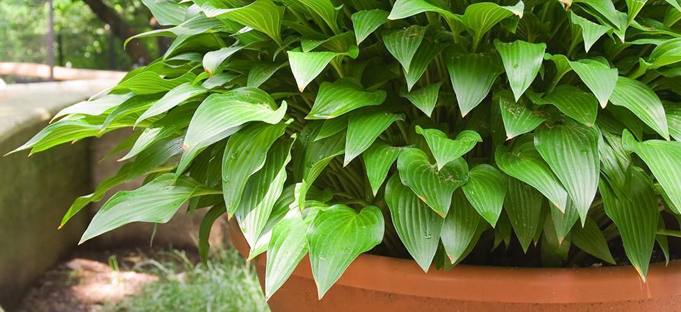 Hosta Pflanzen Winterhart