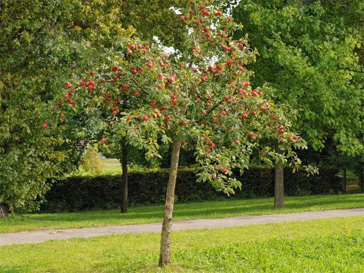 Immergrüne Kleine Bäume Für Den Vorgarten