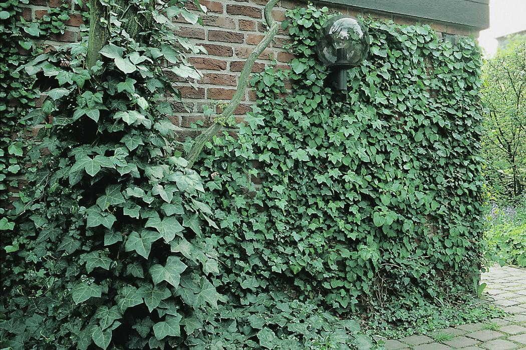 Immergrüne Pflanzen Winterhart Vorgarten