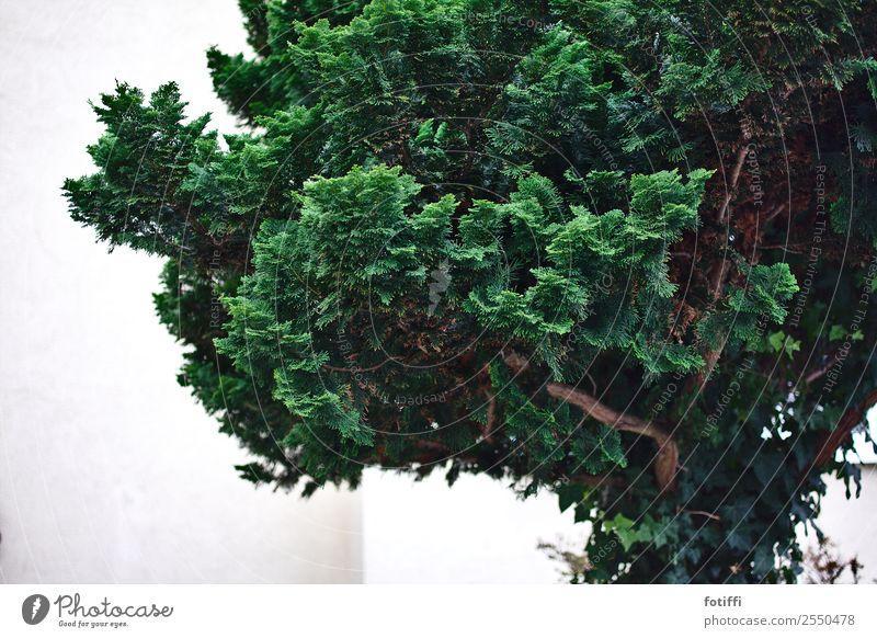Immergrüner Baum Vorgarten