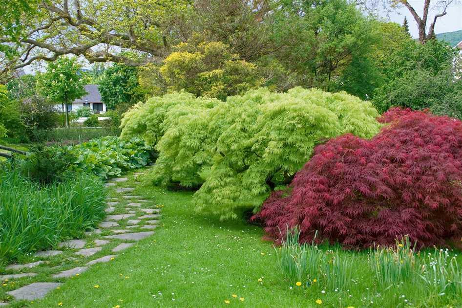 Japanischer Ahorn Steingarten