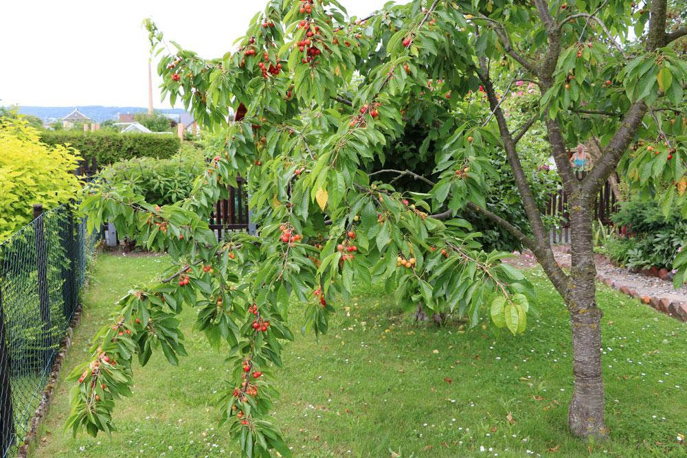 Kleine Obstbäume Kaufen